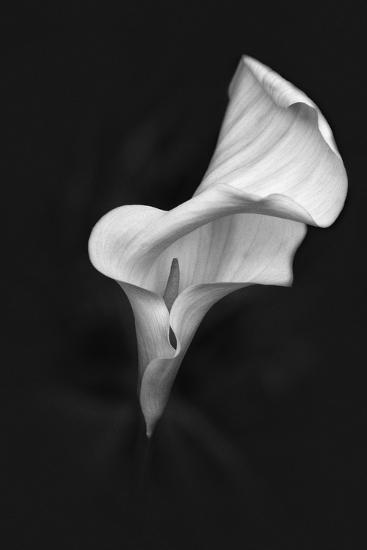 Europe, Ireland, Dublin. Calla Lily Black and White-Jaynes Gallery-Photographic Print