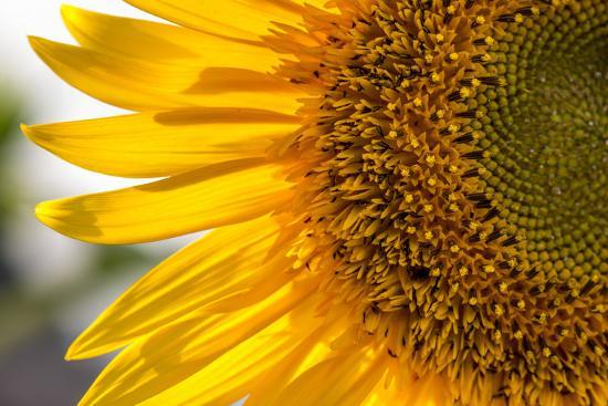 Europe, Italy. Sunflower in a garden-Catherina Unger-Photographic Print