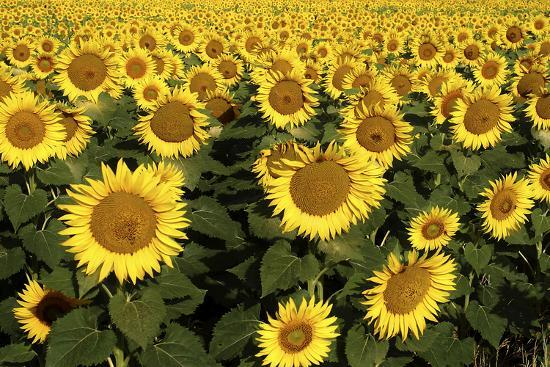 Europe, Italy, Tuscan Sunflowers-John Ford-Photographic Print