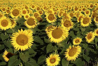 https://imgc.artprintimages.com/img/print/europe-italy-tuscan-sunflowers_u-l-pyqlrn0.jpg?p=0