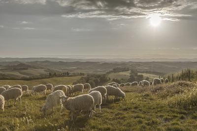 Europe, Italy, Tuscany, Near Siena, Le Crete, Flock of Sheep, Back Light Photography-Gerhard Wild-Photographic Print