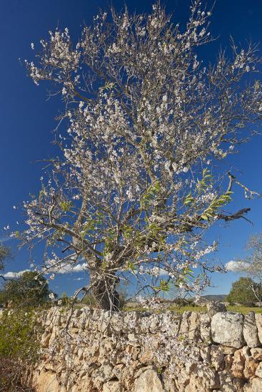 Europe, Spain, Majorca, Almonds, Meadow, Stone Wall-Chris Seba-Photographic Print
