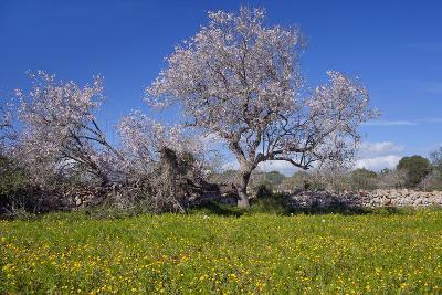 Europe, Spain, Majorca, Meadow, Almond, Almond Blossom, Yellow Flowers-Chris Seba-Photographic Print