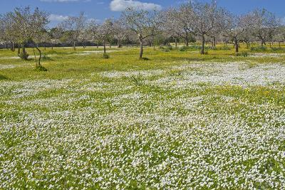 Europe, Spain, Majorca, Meadow, Daisy, Almonds-Chris Seba-Photographic Print