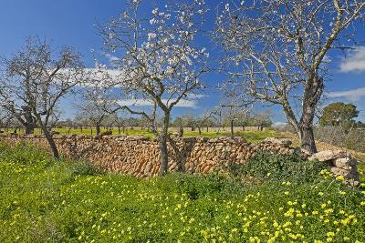 Europe, Spain, Majorca, Meadow, Yellow Flowers, Almonds-Chris Seba-Photographic Print