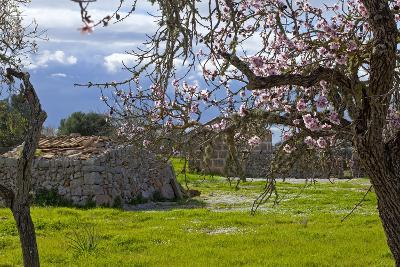 Europe, Spain, Majorca, Pink Almond Blossoms, Bitter Almond Blossom-Chris Seba-Photographic Print