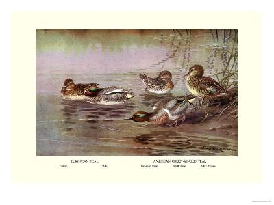 European and American Teal Duck-Allan Brooks-Art Print