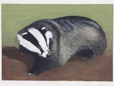European Badger (Meles Meles), Illustration--Photographic Print