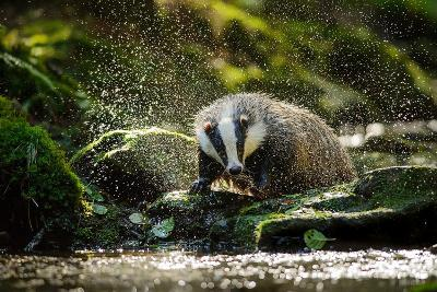 European Badger Shaking and Splashing Water Drops Around-Stanislav Duben-Photographic Print