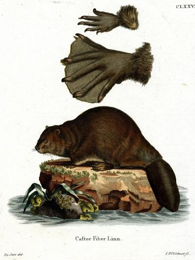 European Beaver--Giclee Print