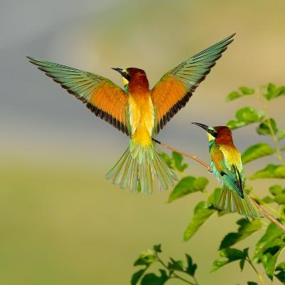 European Bee-Eater (Merops Apiaster) Outdoor-mirceab-Photographic Print