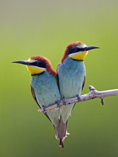 European Bee-Eater (Merops Apiaster) Pair Perched, Pusztaszer, Hungary, May 2008-Varesvuo-Photographic Print