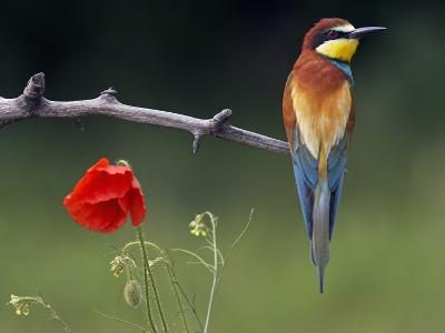 European Bee-Eater (Merops Apiaster) Perched Beside Poppy Flower, Pusztaszer, Hungary, May 2008-Varesvuo-Photographic Print