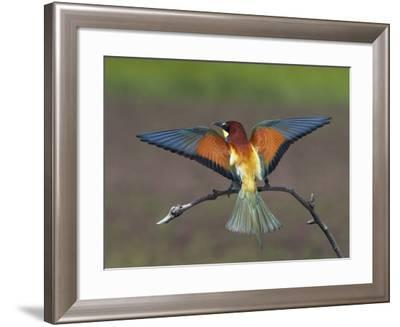 European Bee-Eater (Merops Apiaster) Perched with Wings Extended, Pusztaszer, Hungary, May 2008-Varesvuo-Framed Photographic Print