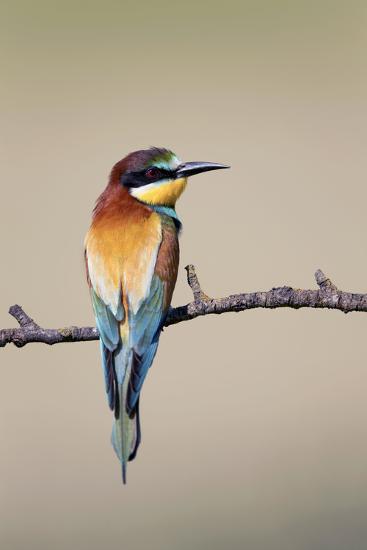 European Bee-Eater--Photographic Print