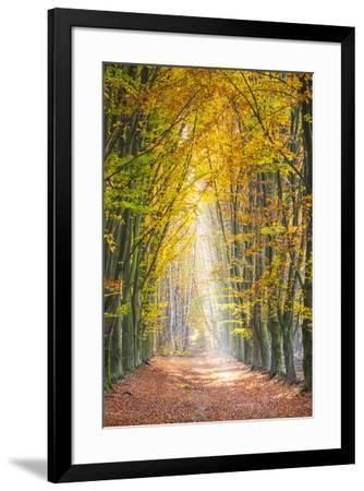 European Beech (Fagus sylvatica) forest Hoge Kempen National Park in autumn, Limburg, Vlaanderen (F-Jason Langley-Framed Photographic Print