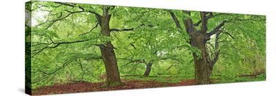 European beech, Kellerwald, Germany-Frank Krahmer-Stretched Canvas Print