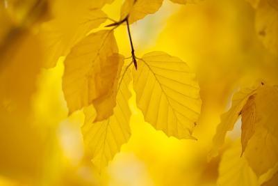 European Beech Tree {Fagus Sylvatica} Yellow Leaves in Autumn, Sence Valley, Leicestershire, UK-Ross Hoddinott-Photographic Print