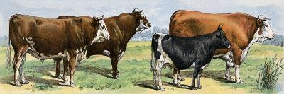 European Beef Cattle and a Dairy Cow--Giclee Print