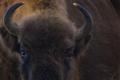 European Bison (Bison Bonasus) Close Up Portrait Showing Horns-Edwin Giesbers-Photographic Print