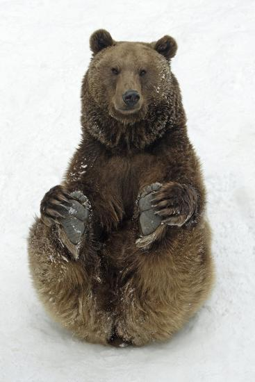 European Brown Bear Male Sitting in Snow--Photographic Print