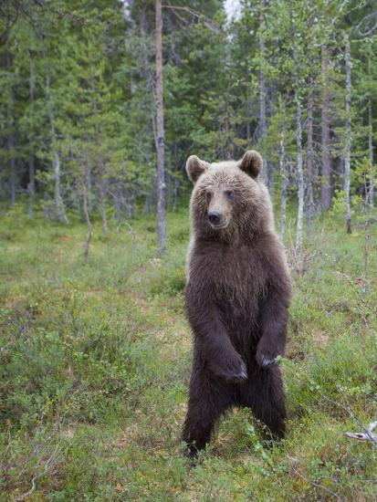 European Brown Bear (Ursos Arctos) Standing on Rear Legs, Kuhmo, Finland, July 2009-Cairns-Photographic Print