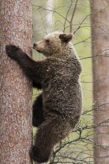 European Brown Bear (Ursus Arctos Arctos) Adult Climbing, Northern Finland, May-Jussi Murtosaari-Photographic Print