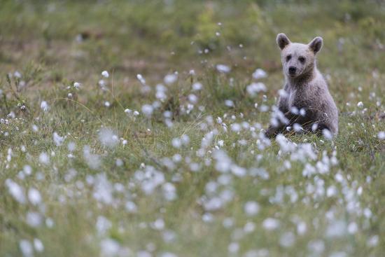 European Brown Bear (Ursus arctos arctos) cub, sitting on cotton grass filled taiga swamp, Suomussa-Robert Canis-Photographic Print