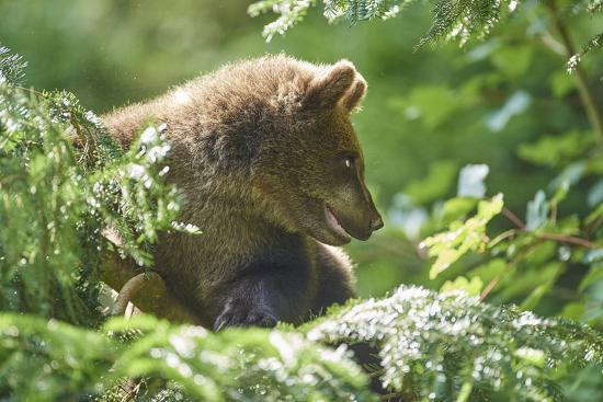 European brown bear, Ursus arctos arctos, young animal, wilderness, sidewise-David & Micha Sheldon-Photographic Print