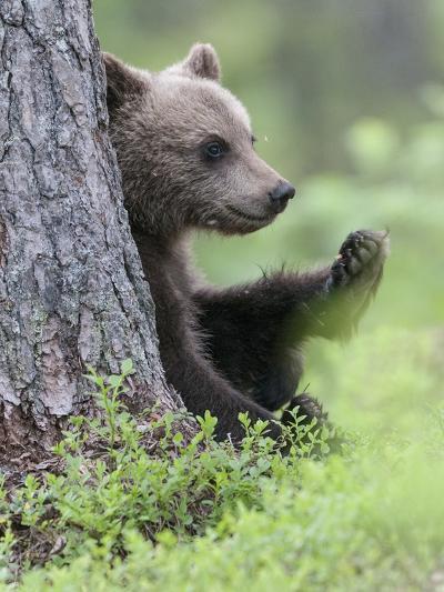 European Brown Bear (Ursus Arctos Arctos) Young Cub, Northern Finland, July-Jussi Murtosaari-Photographic Print