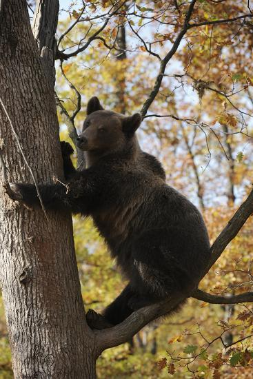 European Brown Bear (Ursus Arctos) in Tree, Captive, Private Bear Park, Near Brasov, Romania-D?rr-Photographic Print