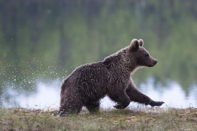 European Brown Bear (Ursus Arctos), Kuhmo, Finland, Scandinavia, Europe-Sergio Pitamitz-Photographic Print
