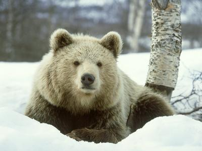 European Brown Bear, Ursus Arctos Male Sat on Snow Norway-Mark Hamblin-Photographic Print