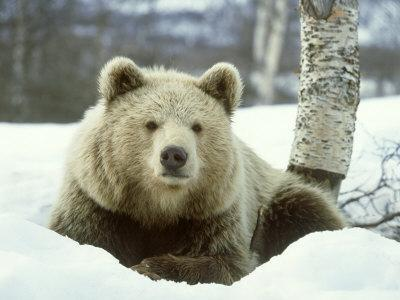 https://imgc.artprintimages.com/img/print/european-brown-bear-ursus-arctos-male-sat-on-snow-norway_u-l-q10qy8q0.jpg?p=0