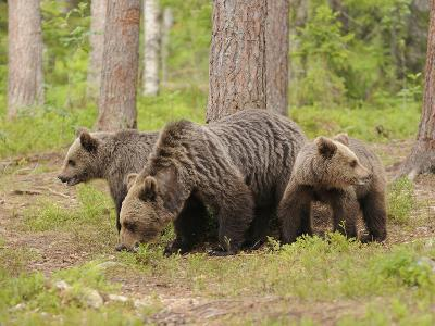 European Brown Bear (Ursus Arctos) Mother and Cubs, Finland-Dave Watts-Photographic Print