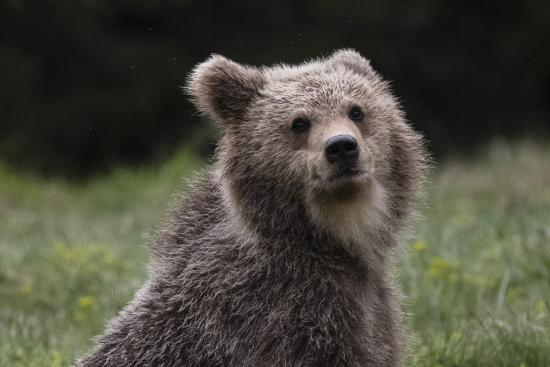 European brown bear (Ursus arctos), Slovenia, Europe-Sergio Pitamitz-Photographic Print
