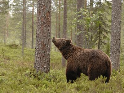 European Brown Bear (Ursus Arctos) Smelling a Scent Mark on a Tree, Finland-Dave Watts-Photographic Print