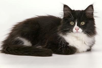 European Cat Black and White--Photographic Print