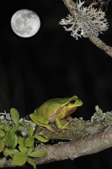European - Common Tree Frog (Hyla Arborea) Sitting on Branch Covered in Lichen at Night-Philippe Clément-Photographic Print