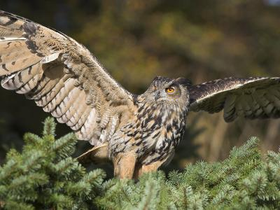 European Eagle Owl, Bubo Bubo, Female, Captive, World Owl Trust, Muncaster Castle, Cumbria-Steve & Ann Toon-Photographic Print