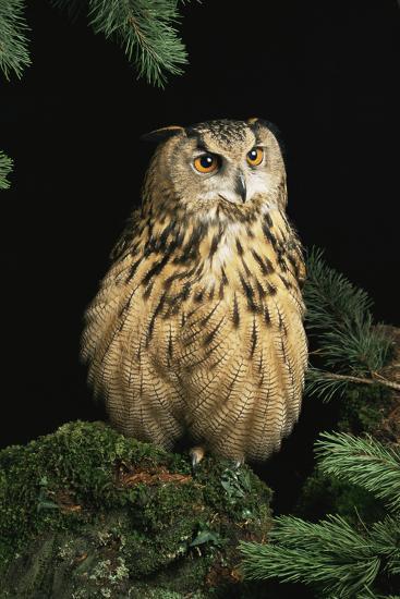 European Eagle Owl-David Aubrey-Photographic Print