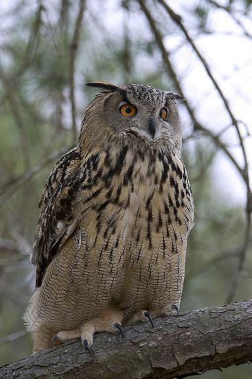 European Eagle Owl-Linda Wright-Photographic Print