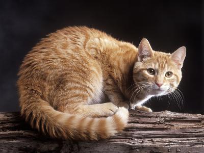 European Ginger Tabby Cat--Photographic Print