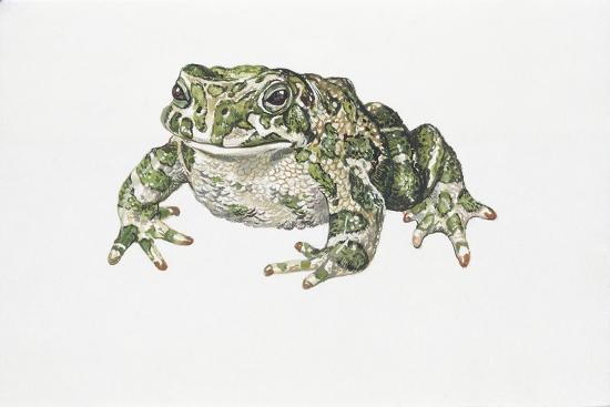 European Green Toad (Bufo Viridis)--Giclee Print