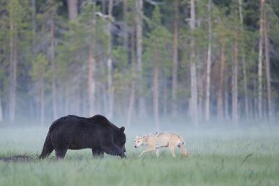 European Grey Wolf (Canis Lupus) Interacting with European Brown Bear (Ursus Arctos) Kuhmo, Finland-Widstrand-Photographic Print