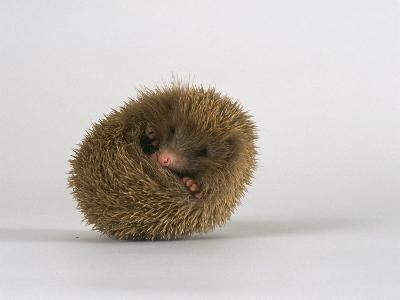 European Hedgehog, Albino-Les Stocker-Photographic Print