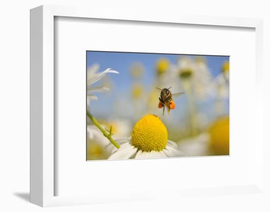 European Honey Bee (Apis Mellifera) with Pollen Sacs Flying Towards a Scentless Mayweed Flower, UK-Fergus Gill-Framed Photographic Print