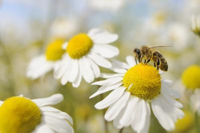 https://imgc.artprintimages.com/img/print/european-honey-bee-collecting-pollen-and-nectar-from-scentless-mayweed-perthshire-scotland_u-l-q10o5ig0.jpg?p=0