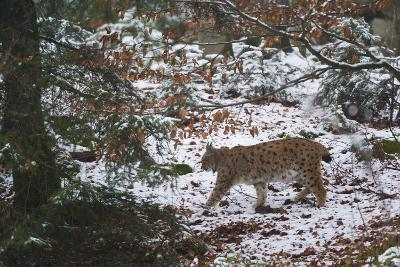 European Lynx (Lynx Linx), Bavarian Forest National Park.-Sergio Pitamitz-Photographic Print