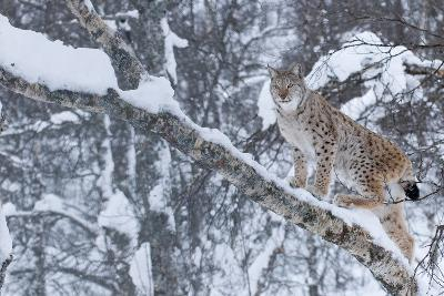 European Lynx (Lynx Lynx) Climbing A Tree, Captive, Norway, February-Edwin Giesbers-Photographic Print